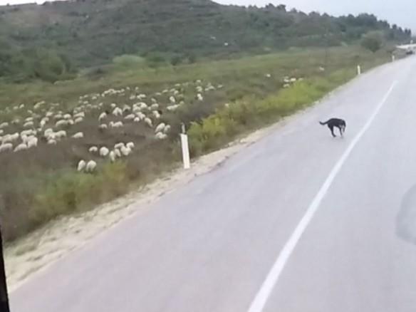 lammaskoira